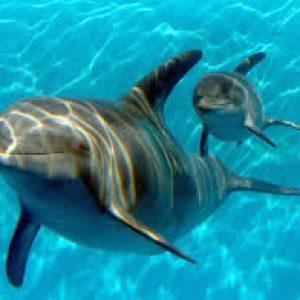 Делфините учат малките си името още преди раждането