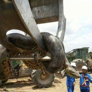 В Бразилия е намерена 10 метрова анаконда