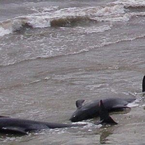 Масова смърт на китове край бреговете на Чили