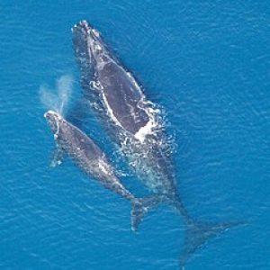 Северните китове са на ръба на изчезването