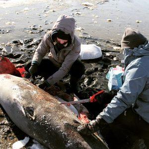 В САЩ акулите замръзват до смърт